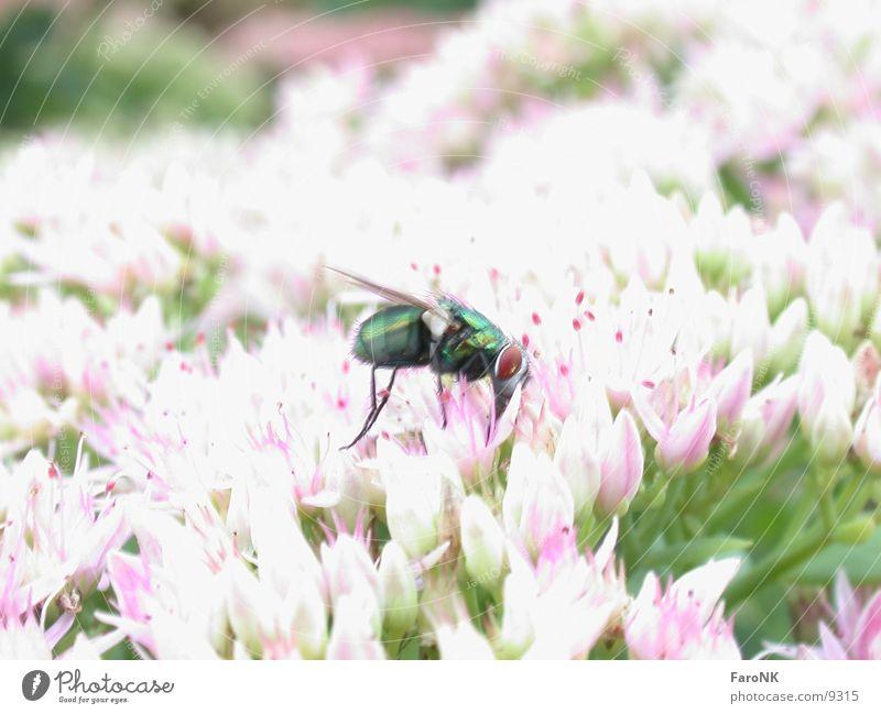 Fliege grün Tier Blüte Verkehr Insekt