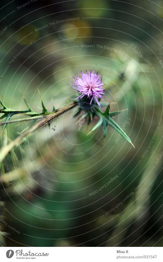 Distel Umwelt Natur Blume Blatt Blüte Blühend Spitze stachelig violett Distelblüte Distelblatt Farbfoto mehrfarbig Außenaufnahme Nahaufnahme Detailaufnahme