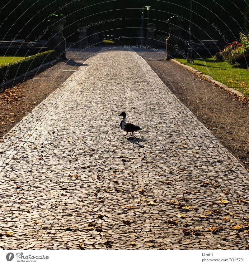 Entenquerung Herbst Schönes Wetter Blatt Teich Hannover Park Garten Straße Tier Wildtier Vogel Bewegung gehen laufen stehen wandern warten einfach