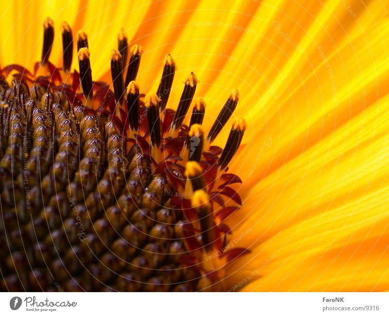 Blütenstempel Sonnenblume gelb