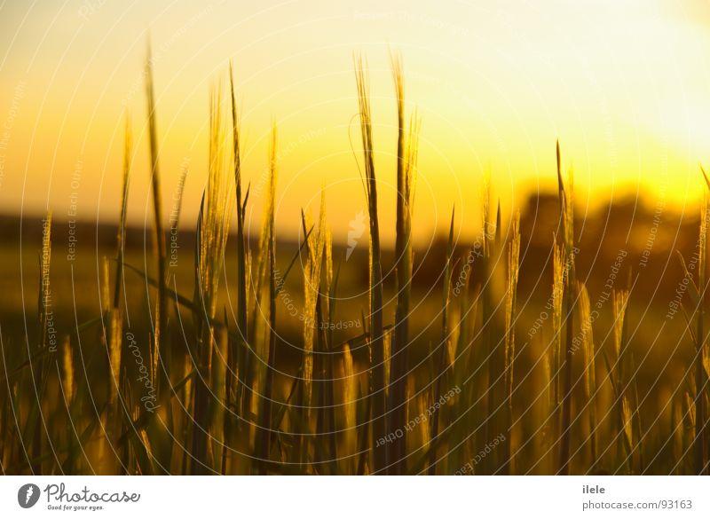 es war am anfang.. Abend Sonnenstrahlen Fußweg Sommer Beleuchtung Getreide Einsamkeit