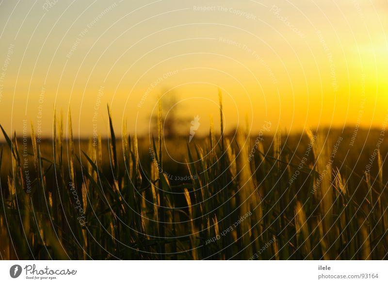 ... einer schönen zeit Abend Sonnenstrahlen Fußweg Sommer Beleuchtung Getreide Einsamkeit
