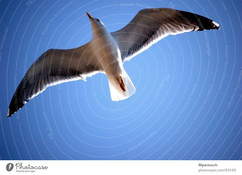 Grenzenlose Freiheit Möwe gleiten aufsteigen Unendlichkeit Vogel Luft Wärme blau Himmel fliegen Ausstieg frei