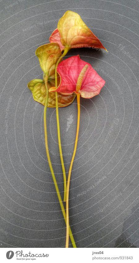 Flamingo arrangiert Pflanze Blume Blüte Topfpflanze Flamingoblume Blühend leuchten authentisch exotisch gelb grau grün rot Stimmung Warmherzigkeit schön ruhig