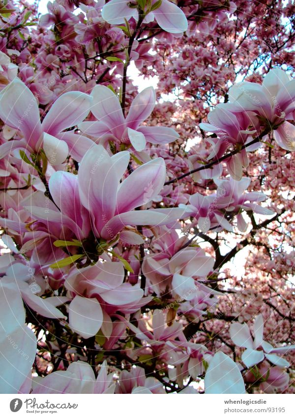 blüten Baum Blüte Frühling rosa violett Ast