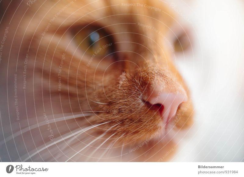 . rothaarig Tier Haustier Katze Tiergesicht 1 Blick Wachsamkeit Nase Schnurrhaar Geruch Jagd Makroaufnahme tierisch rosa Unschärfe fokussieren Intuition