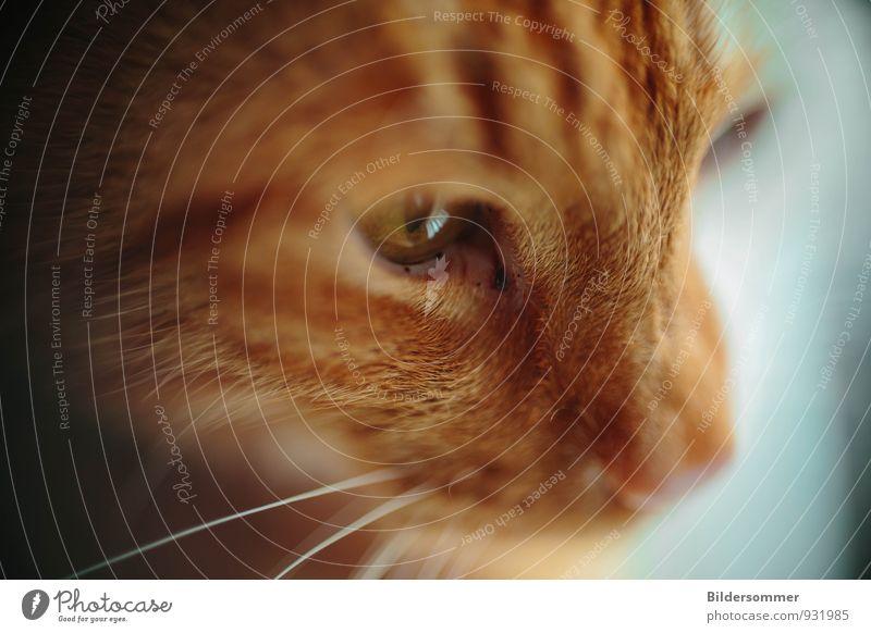 focussed Tier Haustier Katze Tiergesicht 1 beobachten Blick Konzentration planen Auge Fell Fellfarbe Schnurrbarthaare Farbfoto Innenaufnahme Nahaufnahme