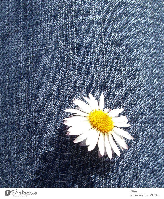 Nachzügler Gänseblümchen Blume Blütenblatt Pollen gelb Frühling Sommer Jeansstoff Spielen Neugier Sonnenbad Blühend frech Jeanshose Fröhlichkeit Leben