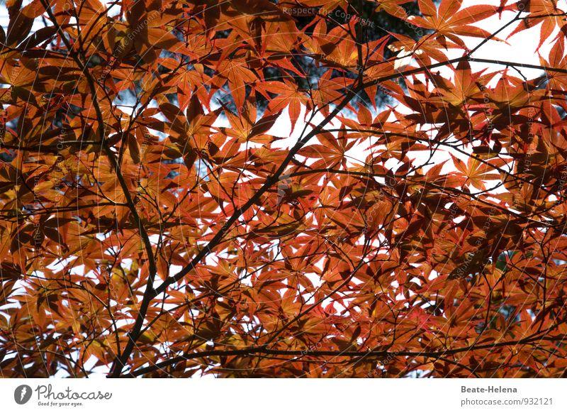 Feuerregen Ferien & Urlaub & Reisen Natur Herbst Pflanze Baum Blatt Park atmen leuchten außergewöhnlich elegant frisch braun rot Gefühle Kraft Leben Farbe Ferne
