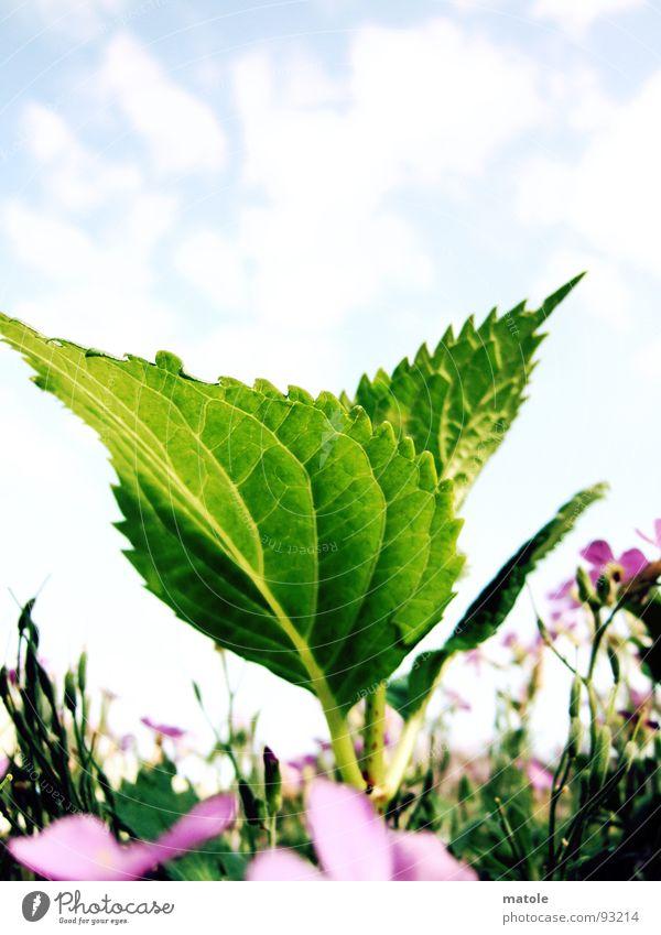 BLATTGRUEN Blatt Blattgrün Pflanze Wiese Frühling Sommer Wachstum lieblich saftig Makroaufnahme Nahaufnahme Garten Natur Sonne Himmel Blühend selektive Schärfe