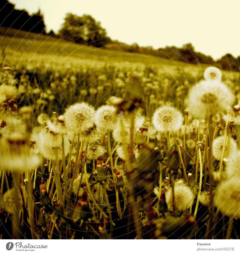 puste bist zum umfallen Wiese Gras Löwenzahn Waldrand Berghang ruhig grün Natur gelb vergilbt Froschperspektive Sommer sommerlich Österreich Frühling Himmel