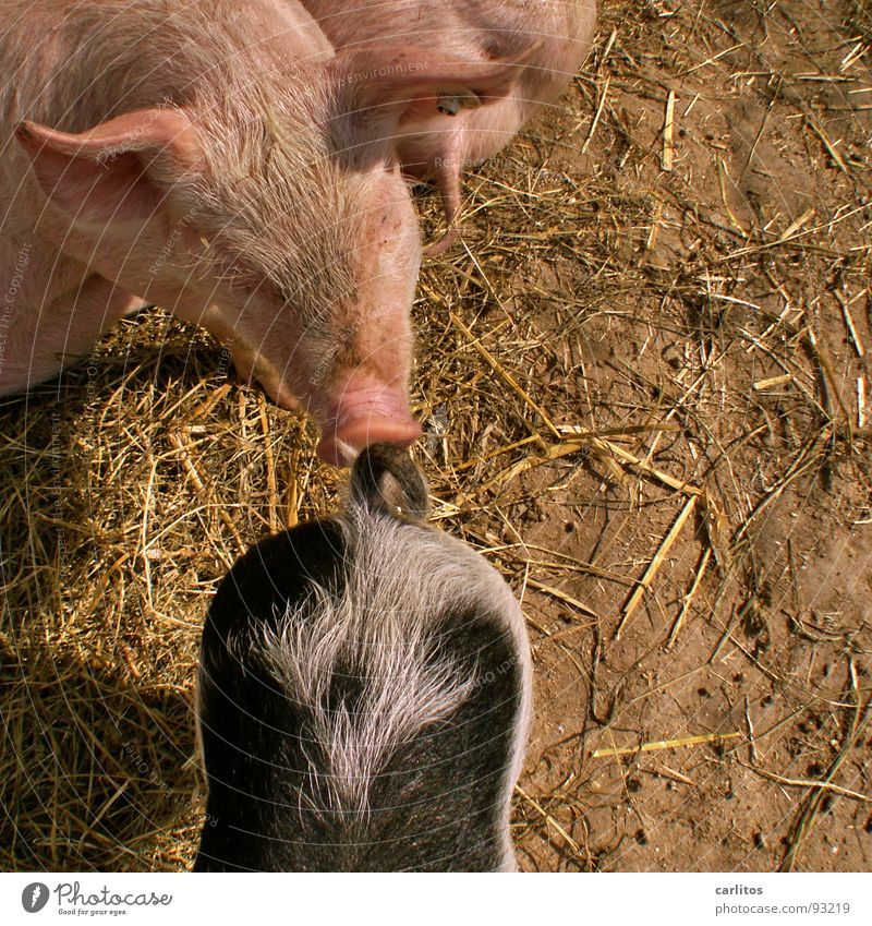 Ich erkenn dich am Geruch Glück rosa Landwirtschaft Hinterteil Bauernhof Bildausschnitt Säugetier Anschnitt Schwanz Tierzucht Schwein Viehzucht scheckig