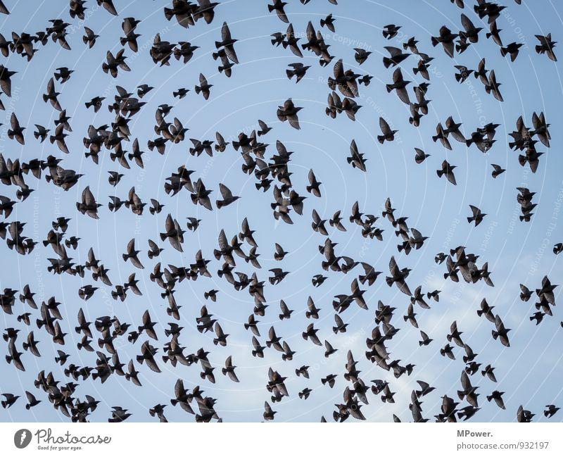 ab in den süden Tier Wildtier Vogel Tiergruppe Schwarm fliegen Star Tragfläche Reisefotografie Feder Farbfoto Außenaufnahme Menschenleer Tag