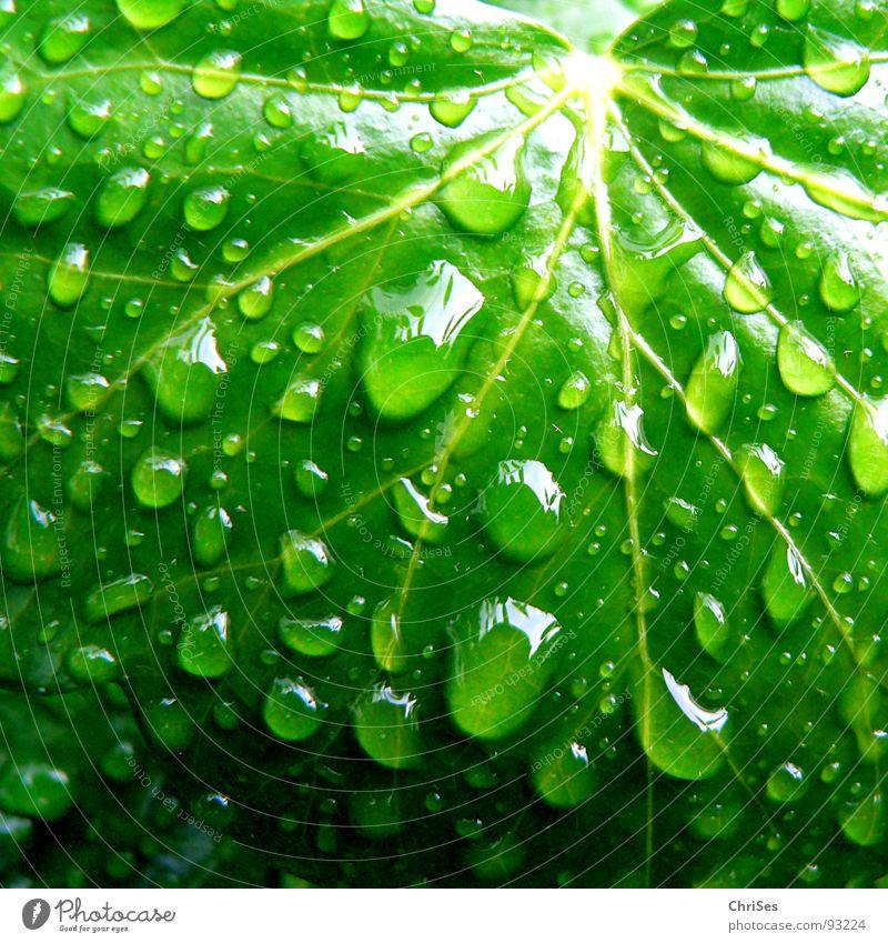 Regentropfen 01 Blatt grün Efeu nass feucht Pflanze Grünpflanze Kletterpflanzen Frühling Botanik Makroaufnahme Nahaufnahme Bad Wassertropfen