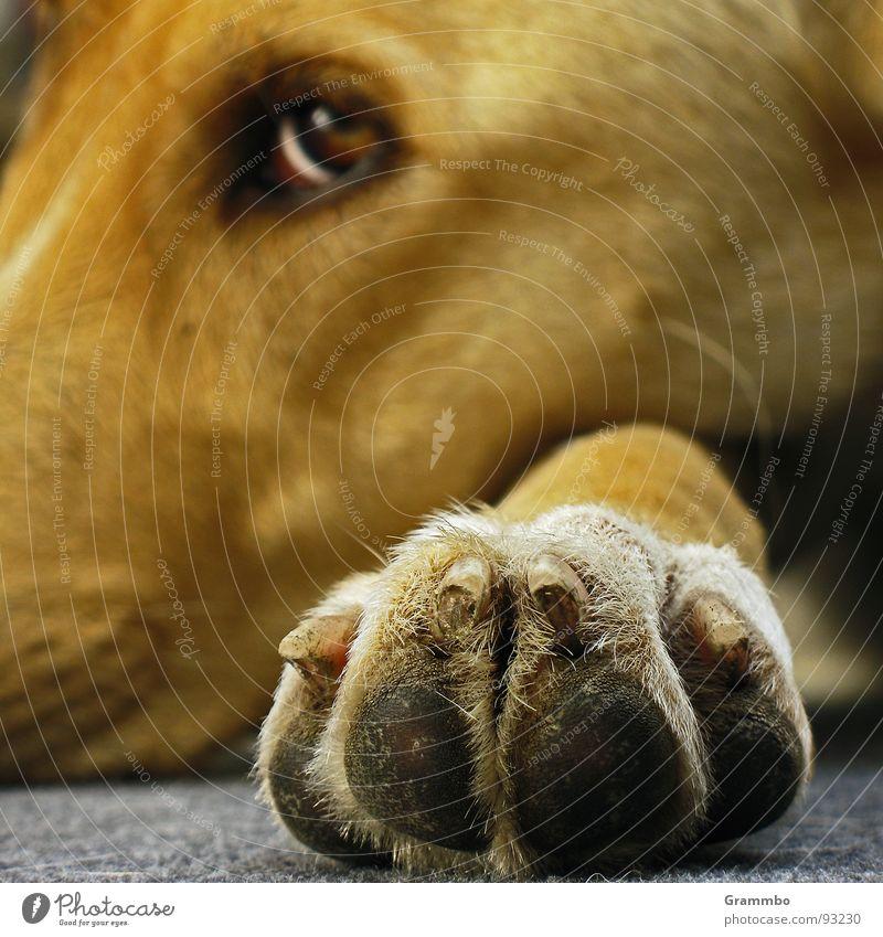 Ich beobachte dich Auge Hund Zufriedenheit Müdigkeit Pfote Säugetier bequem satt