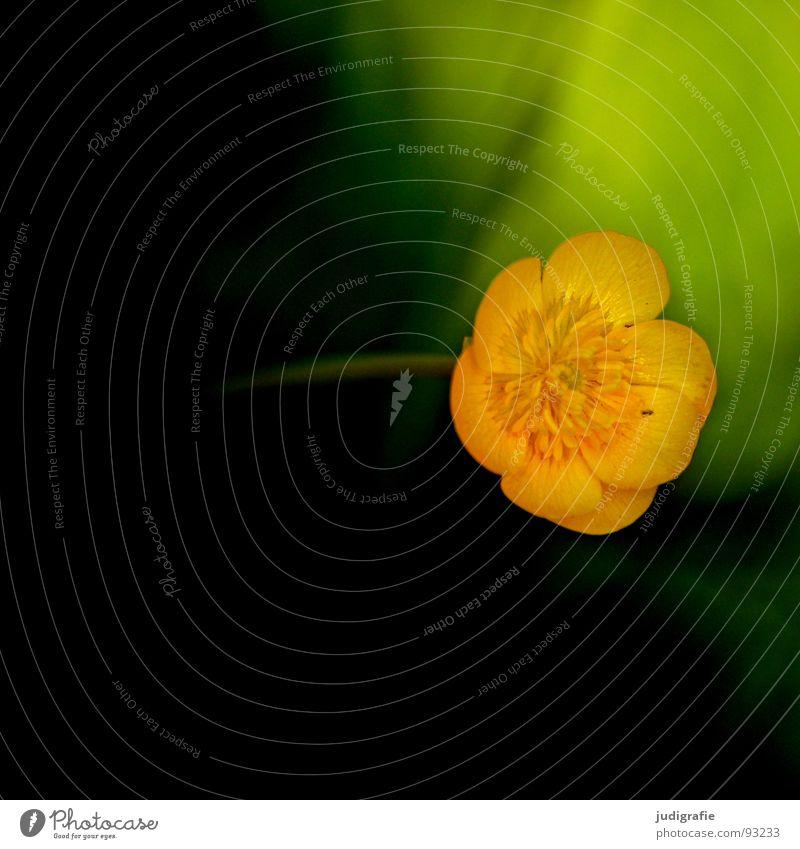 Blümchen Blume Wiese Pflanze Gift Sumpf-Dotterblumen Hahnenfuß Blüte Umwelt Makroaufnahme Nahaufnahme Herbst Natur Wildtier blume des jahres 1999 Unkraut