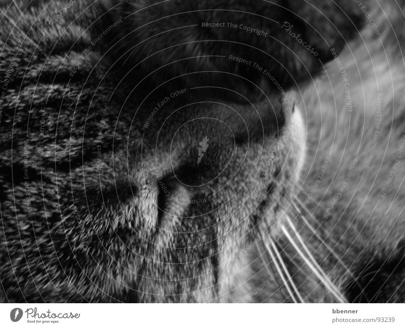 Tigerkatze Katze Pfote schlafen Säugetier Schwarzweißfoto Getigert Auge Nase