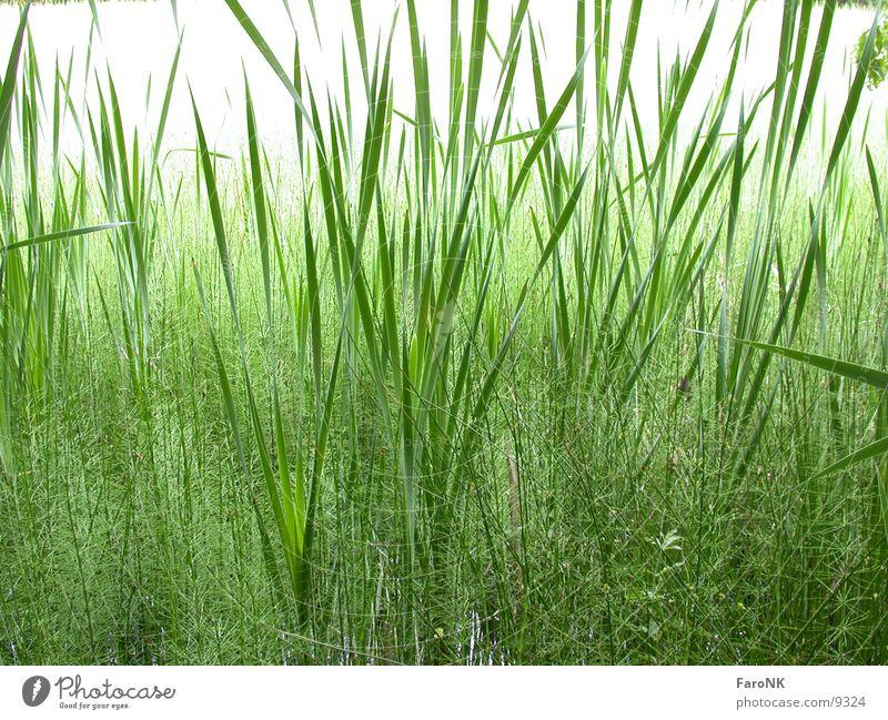 Schilff Gras grün schilff Natur Pflanze