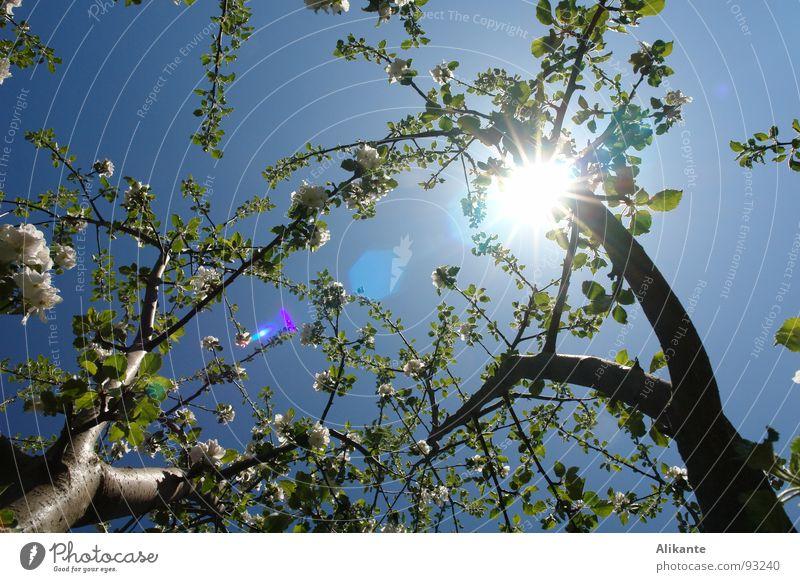 Blütenhimmel Himmel Baum Sonne Blume blau Blatt Frühling Wärme frisch Physik Ast Mai April himmelblau