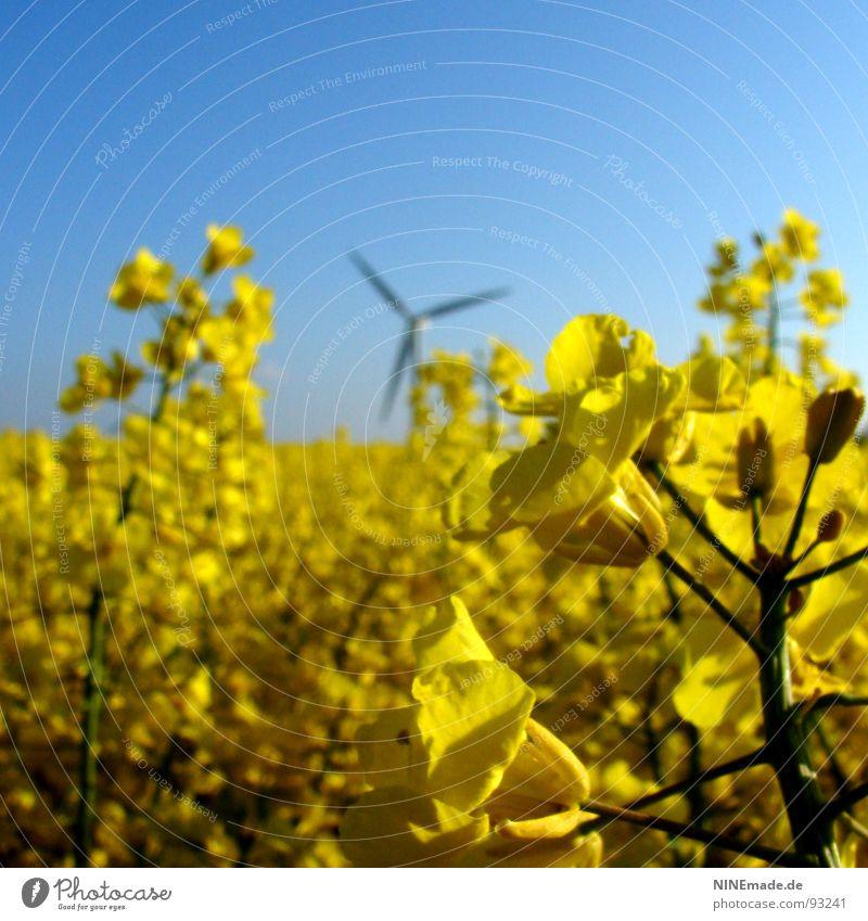Brassica napus I Raps Rapsfeld Feld Rapsblüte Rapsöl Blüte gelb grün himmelblau weiß 3 Unschärfe Quadrat Frühling Sommer Tiefenschärfe Kreuzblütengewächse