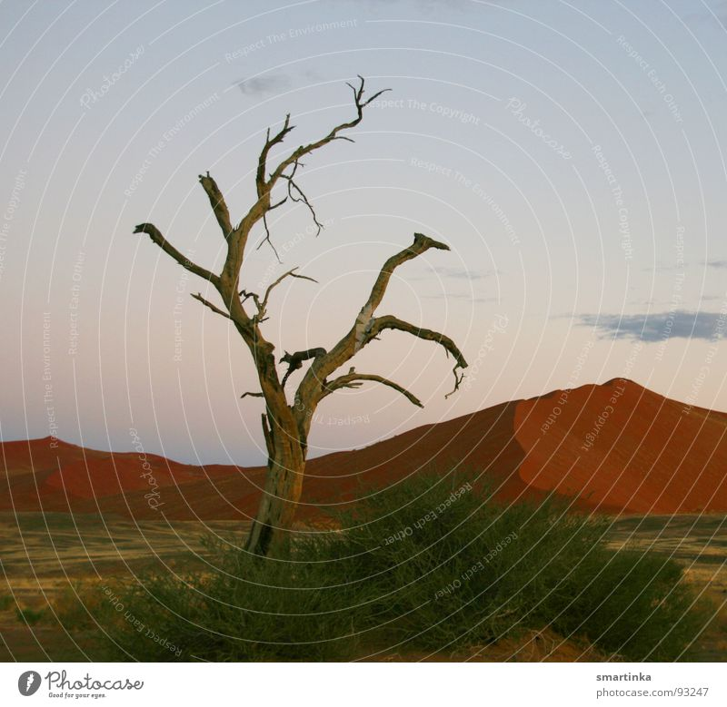 Frühaufsteher Baum Einsamkeit Tod Sand Afrika Wüste dünn heiß trocken Stranddüne Respekt harmonisch Staub Skelett Koloss Namibia