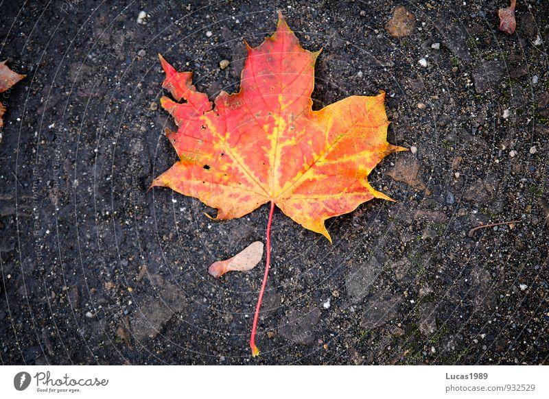 Rotes Laub 2 rot Blatt schwarz Umwelt Herbst orange Erde Ahornblatt verblüht