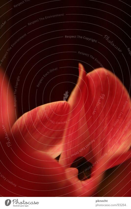 Die Kraft der Rottöne Blume Samt Orchidee Blüte rot rosa Pollen Blütenblatt zart schwarz Vor dunklem Hintergrund Anmut gelb Tiefenschärfe Plfanze Makroaufnahme