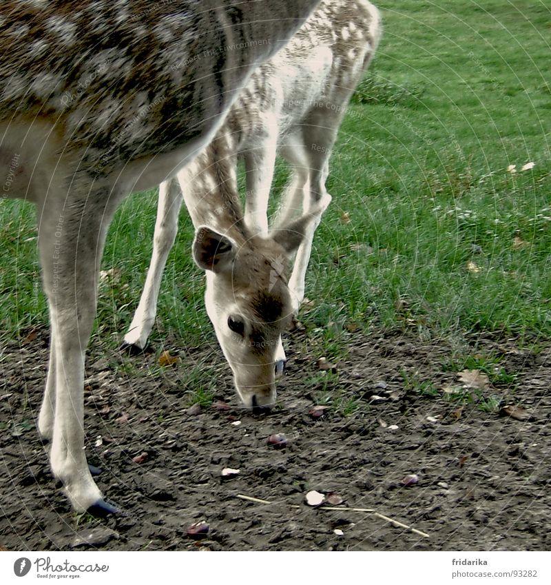 kitz hat hunger Ernährung Natur Tier Erde Gras Wiese Fell Wildtier Fressen braun grün Schüchternheit Reh Rehkitz Schlamm Huf Säugetier Farbfoto Außenaufnahme