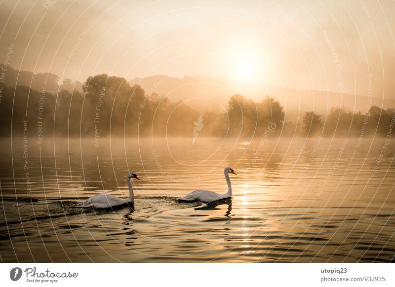 Sonnenaufgang an der Elbe mit Schwanen Paar Natur Landschaft Wasser Sonnenuntergang Herbst Winter Nebel Flussufer Stadt Menschenleer Wildtier Tierpaar Bewegung