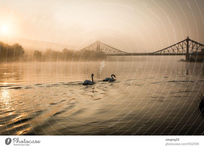 Sonnenaufgang an der Elbe mit Schwanen Paar und Brücke Natur Landschaft Wasser Sonnenuntergang Herbst Winter Nebel Flussufer Stadt Menschenleer Bauwerk