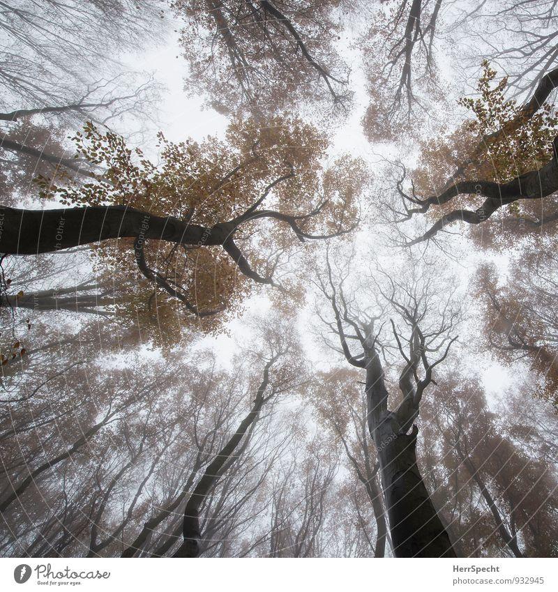 Schwammerlperspektive Himmel Natur Baum Wald Umwelt Herbst natürlich grau außergewöhnlich braun Nebel ästhetisch bedrohlich Baumstamm aufwärts Österreich
