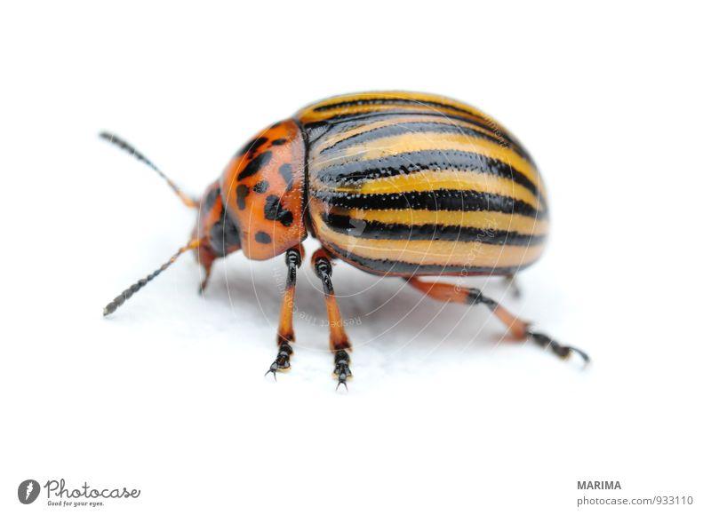 Potato bug Natur Tier Käfer krabbeln braun gelb schwarz Blattkäfer Chrysomelidae Deckflügel Flügel Fuß Fühler gestreift gold Insekt Kartoffeln Kartoffelblüte