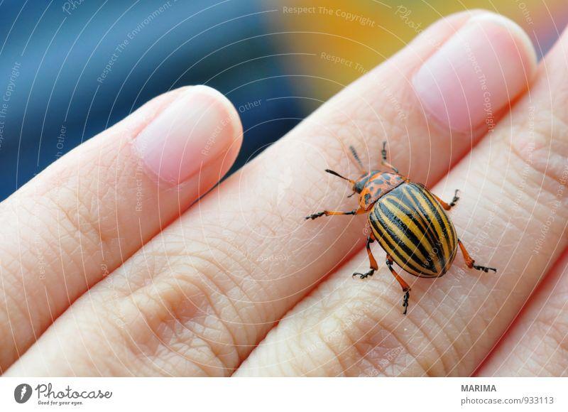 Potato bug Frau Erwachsene Hand Finger Natur Tier Käfer krabbeln braun gelb schwarz Blattkäfer Chrysomelidae Fühler gestreift gold Insekt insect Kartoffeln