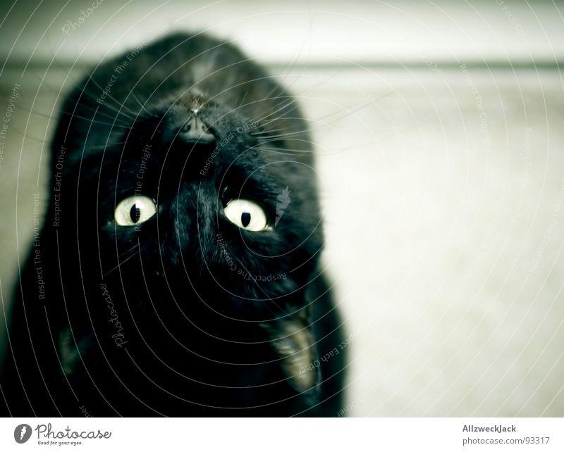 Le Chat Noir schön schwarz Katze warten gefährlich Sauberkeit beobachten Neugier Säugetier Haustier Artist Hauskatze Akrobatik biegen Schnurrhaar Chatten