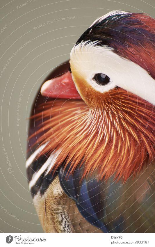 Mandarinente im Portrait Natur blau schön Farbe weiß rot Tier schwarz grau braun Vogel Park orange elegant Wildtier Feder