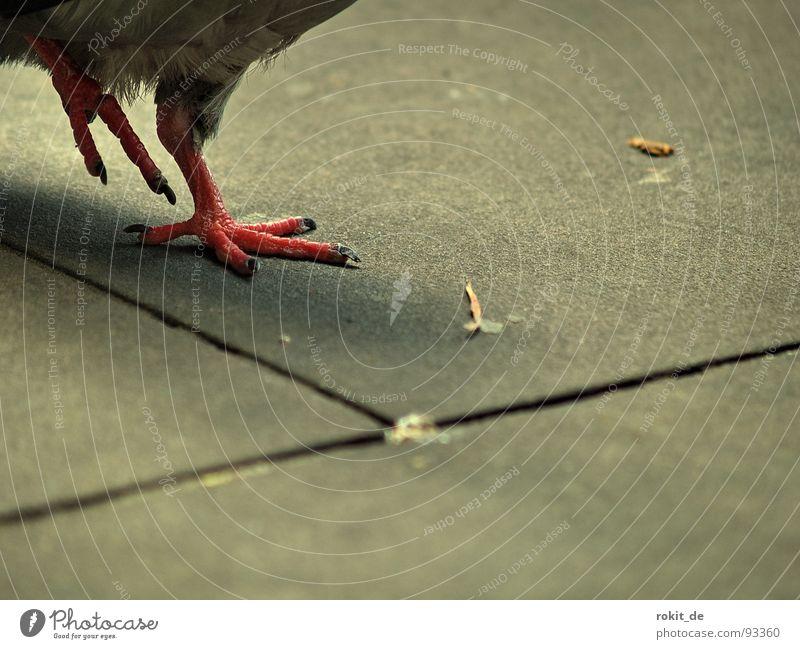 1, 2, Cha Cha Cha rot Freude Fuß Luft Tanzen Vogel gehen laufen Feder Verkehrswege Taube gefräßig nervig