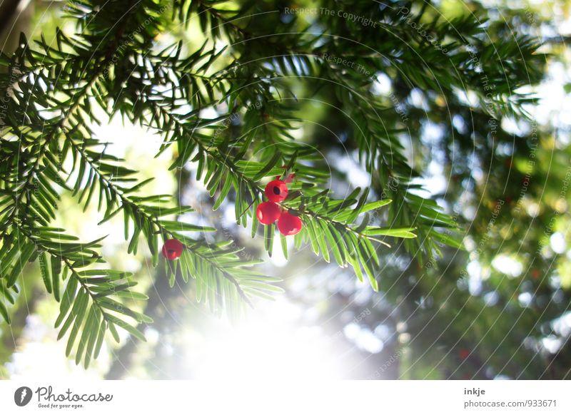 Eibe Natur Sonne Herbst Schönes Wetter Baum Sträucher Grünpflanze Fruchtstand Garten Park Wald hängen leuchten frisch hell schön nah rund saftig grün rot reif