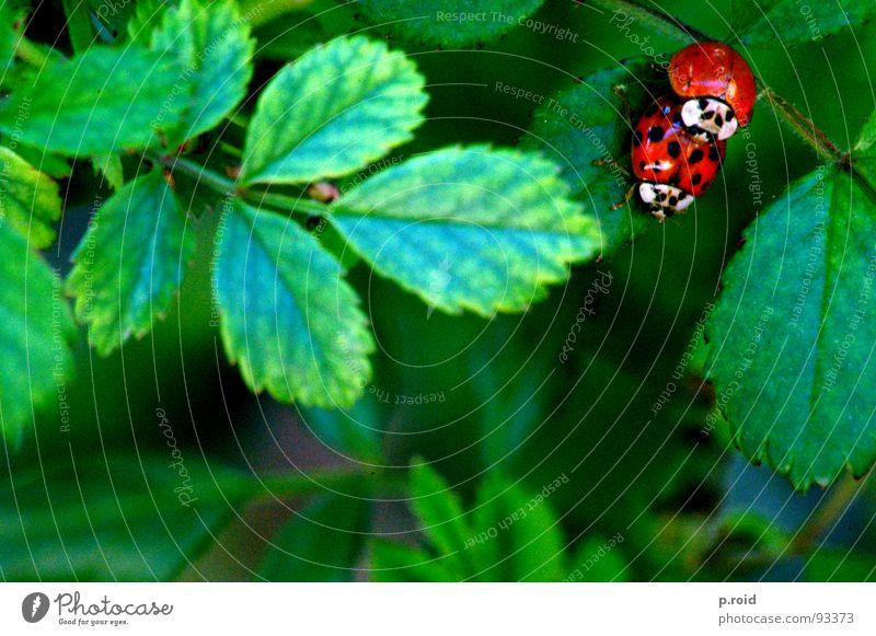 mama, was machen die da?! rot Sommer Tier Blatt Frühling Glück springen lustig Tierpaar Verkehr paarweise Sträucher Punkt tierisch Lust Marienkäfer