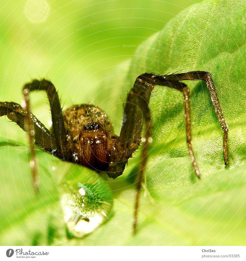 Blattspinne_01 Spinne Tier grün Wassertropfen Spinnennetz Insekt Nordwalde Makroaufnahme Nahaufnahme Angst Panik topfen gliederfüssler arachnologie Netz gewebt