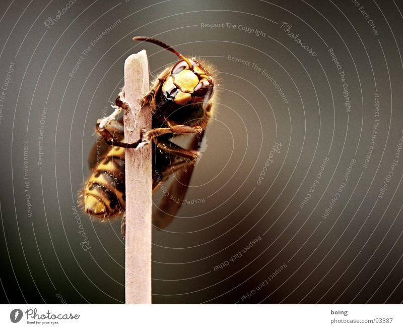 Hornissenstock König Stich stechen festhalten Klammer Halt Insekt Klettern Umweltschutz Artenreichtum Streuobstwiese Kiefer Biene Wespen Imker Honig