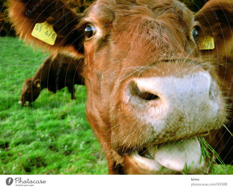 leck mich! Wiese braun Bauernhof Kuh Weide Säugetier Zunge Schnauze Tier melken Rind Wiederkäuer