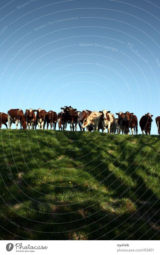 Schaulustige Deichbewohner Himmel blau grün Tier Wiese Wärme Gras Traurigkeit Arbeit & Erwerbstätigkeit Zusammensein Feld warten frisch Neugier Fell berühren