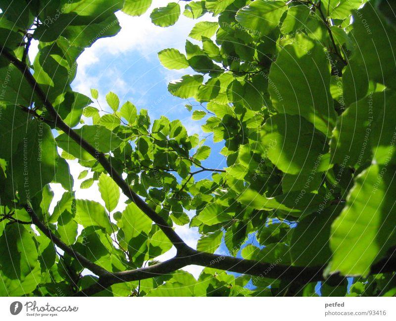 Himmelwärts Natur grün blau Sommer Ferien & Urlaub & Reisen Blatt Freiheit Umwelt mehrere Ast viele