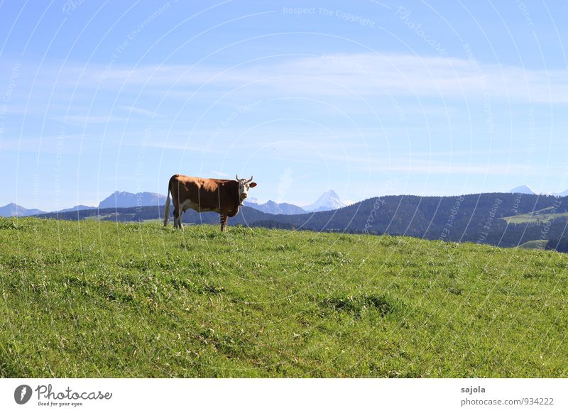 schweizer kuh Umwelt Natur Landschaft Pflanze Tier Himmel Wolken Herbst Gras Alpen Berge u. Gebirge Schreckhorn Nutztier Kuh 1 stehen nachhaltig natürlich blau