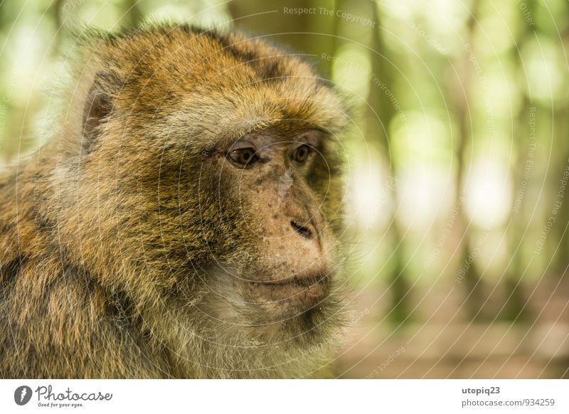just thinking Natur Wald Vollbart Behaarung Tier Berberaffen Affen 1 beobachten Denken füttern Blick sitzen träumen ruhig Schüchternheit Abenteuer Erwartung