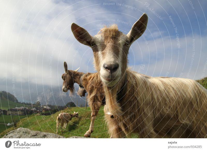 ziegengebimmel Umwelt Natur Landschaft Tier Himmel Wolken Herbst Nutztier Säugetier Ziegen 3 Tiergruppe Blick Neugier Glocke Fressen Farbfoto Außenaufnahme