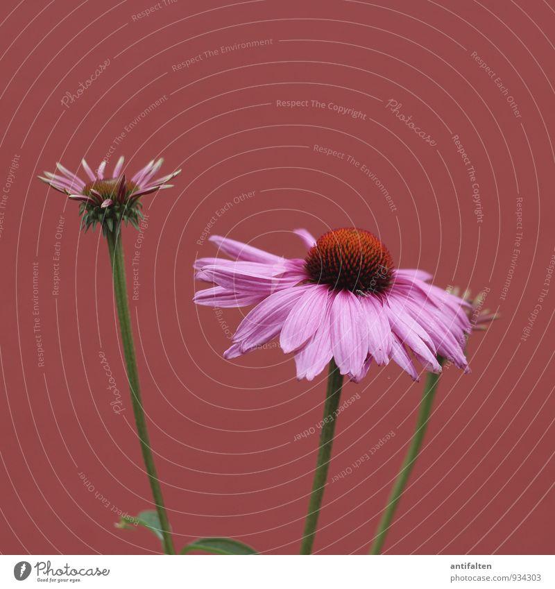 Fliege Natur Pflanze Klima Schönes Wetter Blume Blatt Blüte Astern Blütenstempel Stengel Garten Park Blühend ästhetisch außergewöhnlich natürlich braun violett