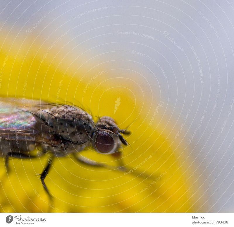 Puck Insekt Stechmücke Makroaufnahme Blume Sommer Nahaufnahme Fliege Haare & Frisuren Auge