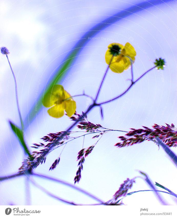Spring Time Natur Pflanze Sonne gelb Wiese Blüte Feld Europa Blühend Stengel Gift Wurzel Straßenrand Staubfäden Heilpflanzen Unkraut