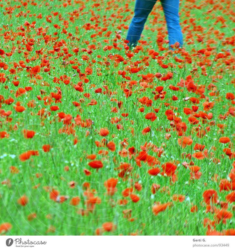 walkin' on the mohn Klatschmohn Blume Blüte Pflanze Mohn rot Mohnblüte Sommer grün mehrfarbig jeansblau gehen Blumenwiese Jeanshose Gras Feld Bekleidung Mann
